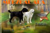 chien Berger d'Asie Centrale à vendre