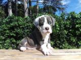 3 chiots Old English Bulldog à vendre (3 Mâles)