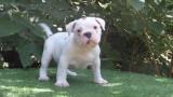 2 chiots Old English Bulldog à vendre (2 Mâles)