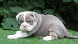 6 chiots Old English Bulldog à vendre (4 Femelles & 2 Mâles)
