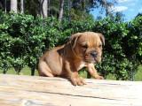 Superbes chiots Bulldog Continental LOF à vendre