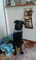 chien Labrador Retriever Mâle à donner