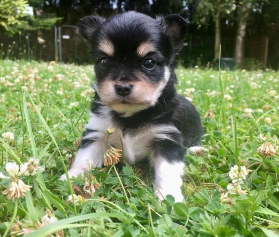 Chiots Chihuahua Poils Longs Petite Annonce Chien
