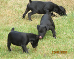 3 chiots Patterdale Terrier à vendre (2 Femelles & 1 Mâle)