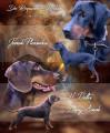 Chiots chien Courant Polonais (Gonczy Polski) à réserver