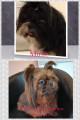 chien Shih Tzu à vendre