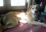 Belle chienne de 8 mois à donner