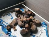 13 chiots Rhodesian Ridgeback à vendre (7 Femelles & 6 Mâles)