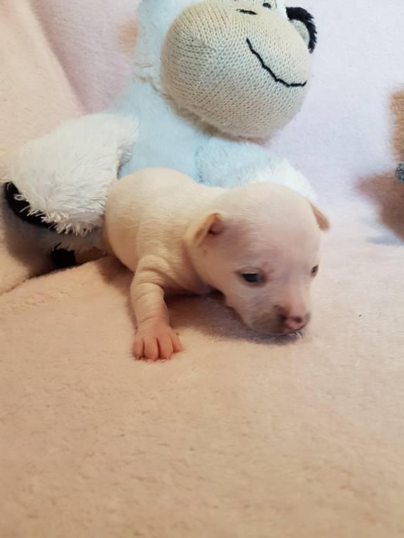 voici la petit poulette blanche