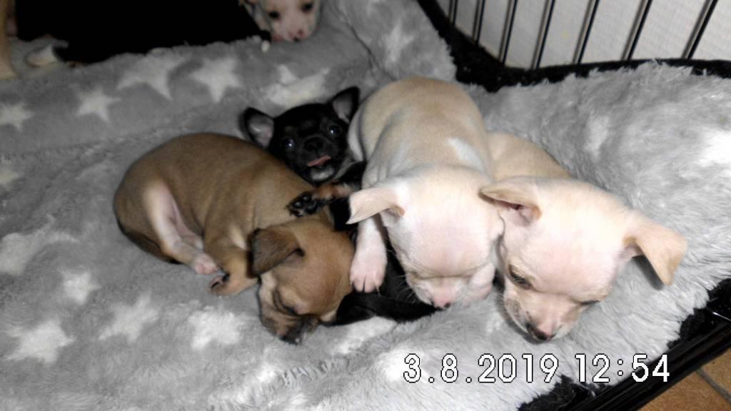 2 magnifiques chiots Chihuahua pure race (un blanc et une brune)