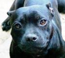A vendre femelle Staffordshire Bull Terrier (staffie) noire de 2 ans