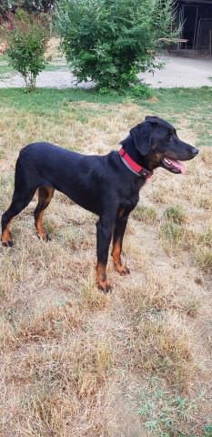 Femelle Beauceron à vendre : Petite Annonce chien