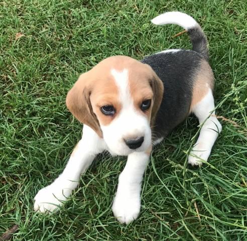 Chiot Beagle Grandes Origines A Reserver Petite Annonce Chien