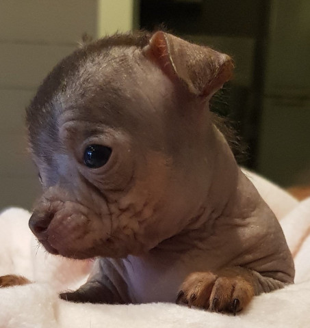 Magnifiques chiots Hairless