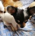 5 chiots Chihuahua à vendre (2 Femelles & 3 Mâles)