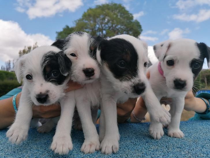 Les 4 Puppies de Madras
