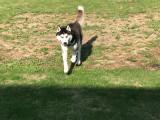 Husky Sibérien noir et blanc aux yeux bleus pour saillie