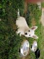 6 chiots West Highland White Terrier à vendre (1 Femelle & 5 Mâles)
