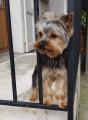 Jeune Yorkshire Terrier LOF confirmé cherche femelle LOF confirmé pour saillie