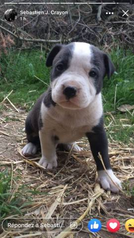 4 Chiots American Staffordshire Terrier A Vendre 4 Males Petite Annonce Chien