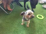 chien Yorkshire Terrier Mâle à vendre