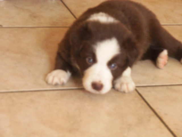 Chiots Border Collie Chocolat disponibles