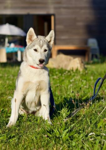 Magnifique chiot Husky de Sibérie LOF disponible