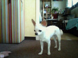 Propose étalon Chihuahua pour saillie
