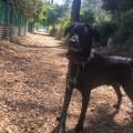 Étalon Labrador retriever disponible pour saillie
