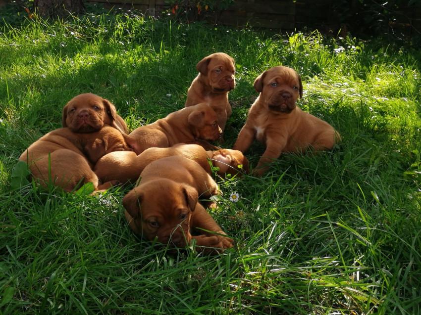 Chiots Dogues de Bordeaux a vendre