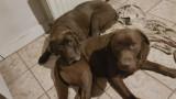 Chiots Labradors chocolat à vendre