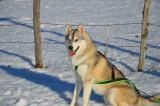 Propose étalon Husky Sibérien pour saillie