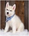 chiot Husky Sibérien mâle à vendre