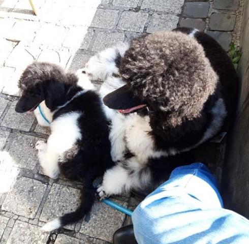 3 superbes Grands Caniches Royaux particolores à poils frisés à vendre