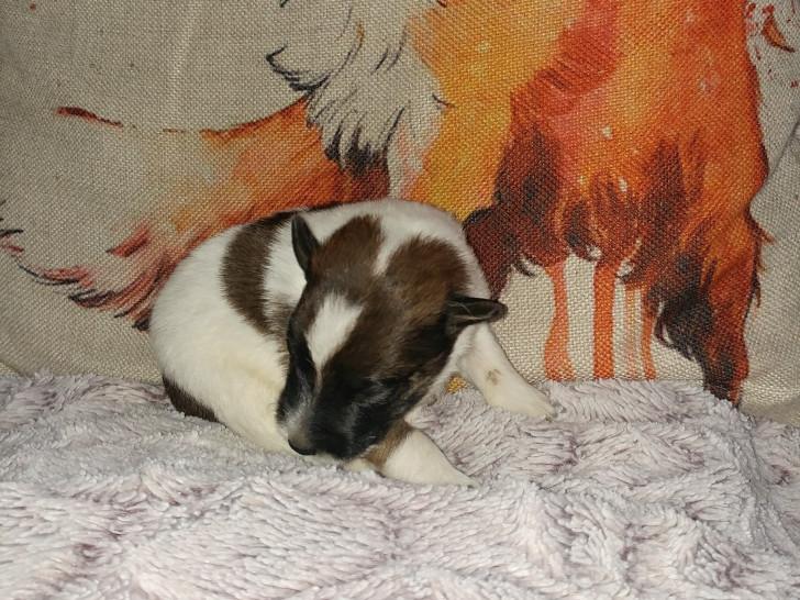 3 chiots Fox Terrier à poil lisse à vendre (3 femelles)