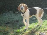 chiot Beagle mâle à vendre