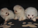 4 chiots Loulous de Poméranie à vendre (3 Femelles & 1 Mâle)