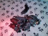 Chiots Rottweilers nés en octobre à réserver