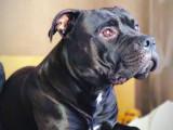 chien Staffordshire Bull Terrier Mâle à donner