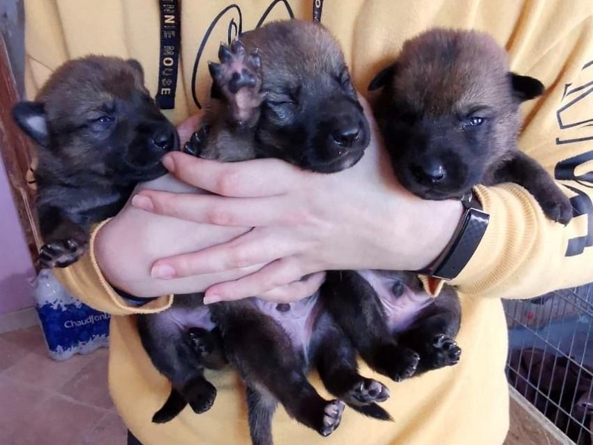 Chiots Loups Tchèques croisés Malinois à vendre