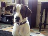 Laki, croisé Beagle agréable et affectueux, à vendre