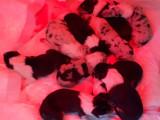 9 chiots Colley à poil court à vendre (5 Femelles & 4 Mâles)