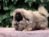 Magnifique chiot mâle Pékinois à vendre