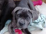 1 chiot femelle Cane Corso à vendre