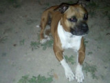 chien American Staffordshire Terrier à donner
