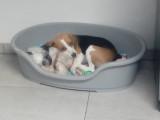 Beagle femelle de 1 an à vendre
