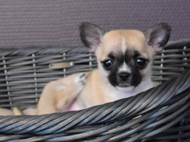 2 Chiots Chihuahua A Vendre 2 Males Petite Annonce Chien