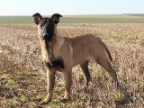 Chiots Bergers Malinois LOF disponibles