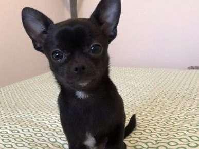Chien Chihuahua A Vendre Petite Annonce Chien