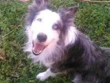 Beau Border Collie bleu merle pour saillie